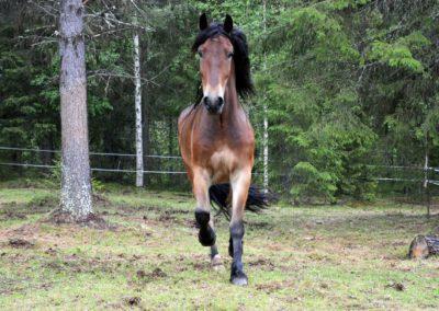 Häst, notre beau trotteur suédois