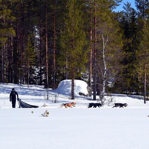 Aurélie en pleine sortie conduite d'attelage lors d'un séjour chien de traîneau en Suède.
