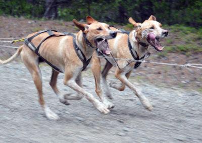 Nos chiens de traîneau à l'entraînement en été