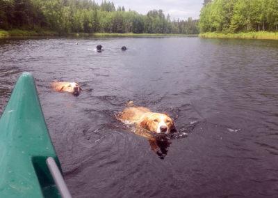 Les chiens de traîneau nagent dans la rivière Örån en Laponie sédoise