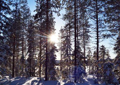 balade en forêt en Laponie suédoise