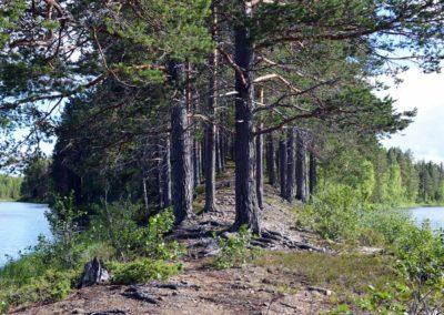 La laponie en été entre forêt et rivière